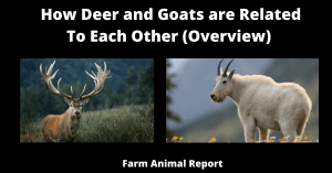 How Deer and Goats are Related To Each Other (Overview)