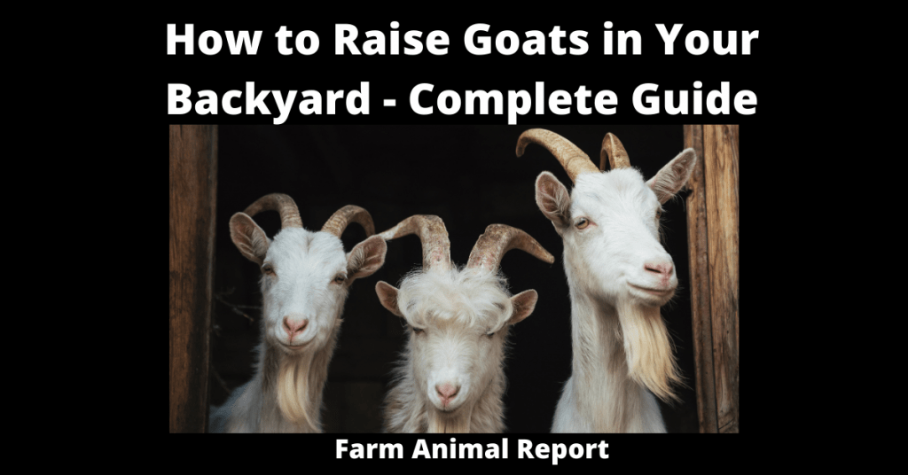 How to Raise Goats in Your Backyard - Complete Guide ...