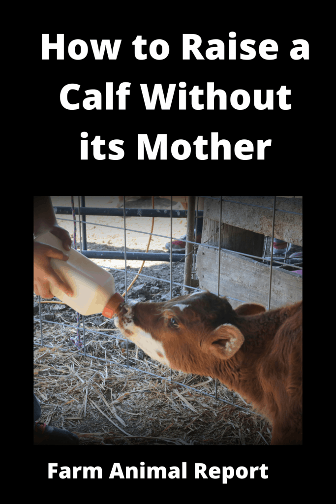 How to Raise a Calf Without its Mother: The Complete Guide 1