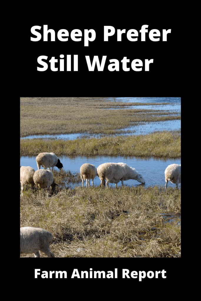 Why do Sheep Prefer Still Water? ( 3 Videos ) 1