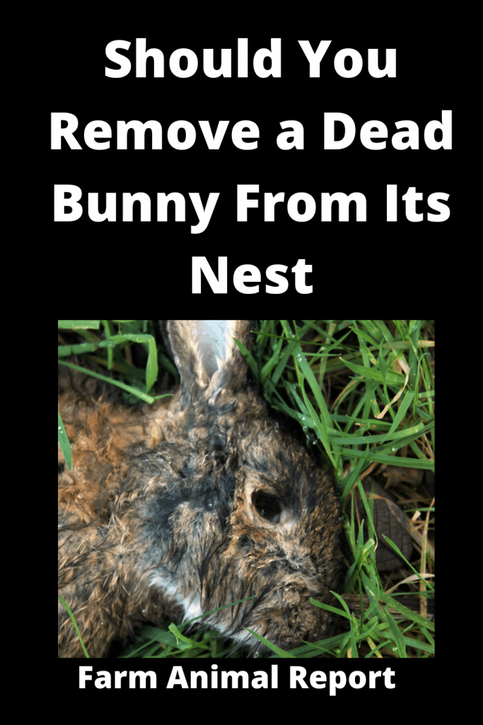 Should You Remove a Dead Bunny From Its Nest? A Quick Insight 2