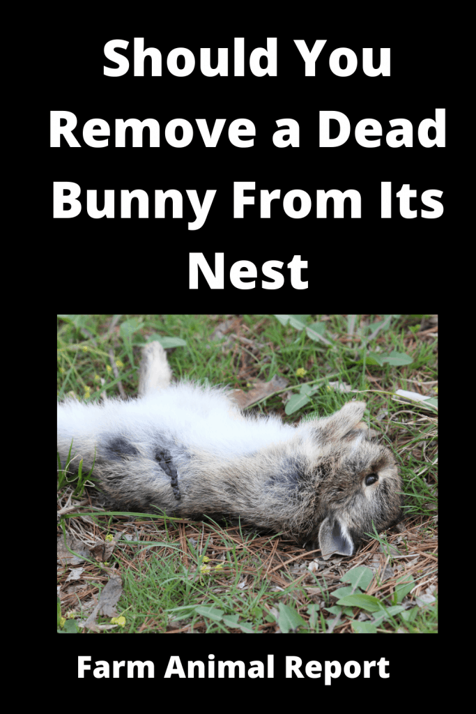 Should You Remove a Dead Bunny From Its Nest? A Quick Insight 1