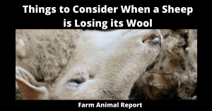 Why Sheep is Losing its Wool