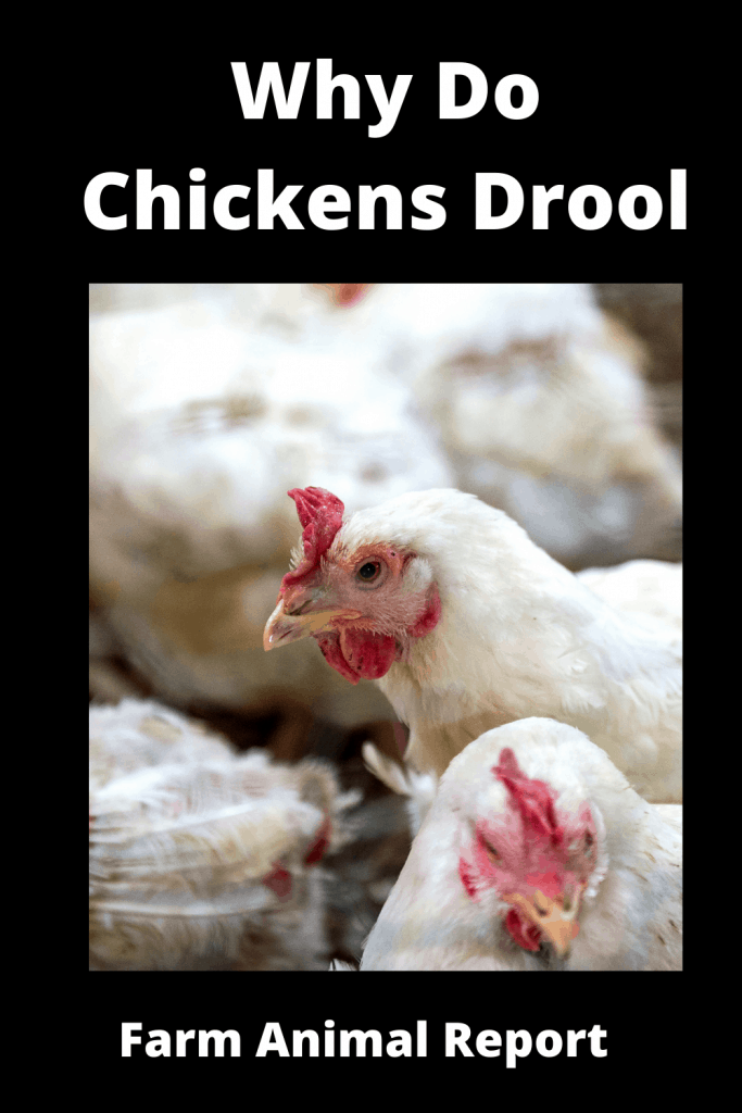Why Do Chickens Drool - 13 Reasons 2