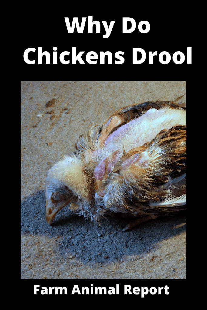 Why Do Chickens Drool - 13 Reasons 1