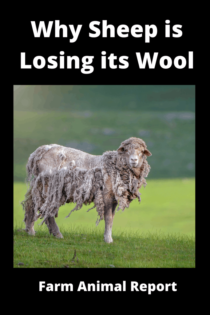 Why Sheep is Losing its Wool / 11 First Steps 1