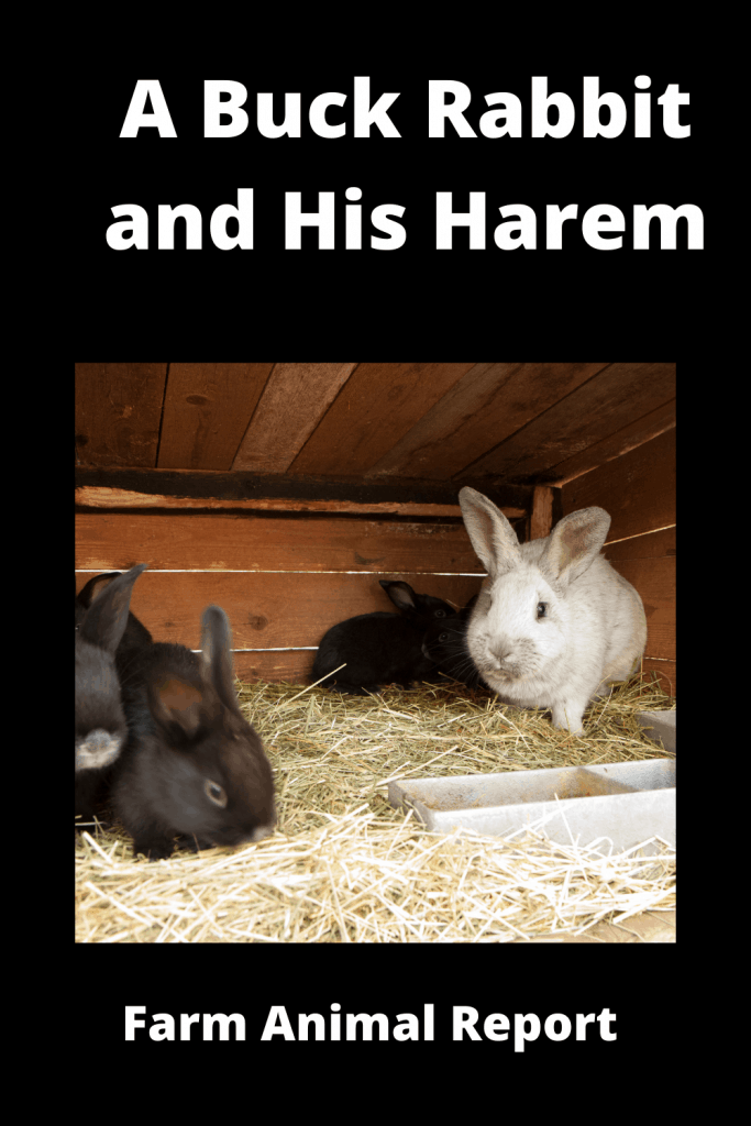 A Buck Rabbit and His Harem! Is it true that Rabbits Breed so Much? 2