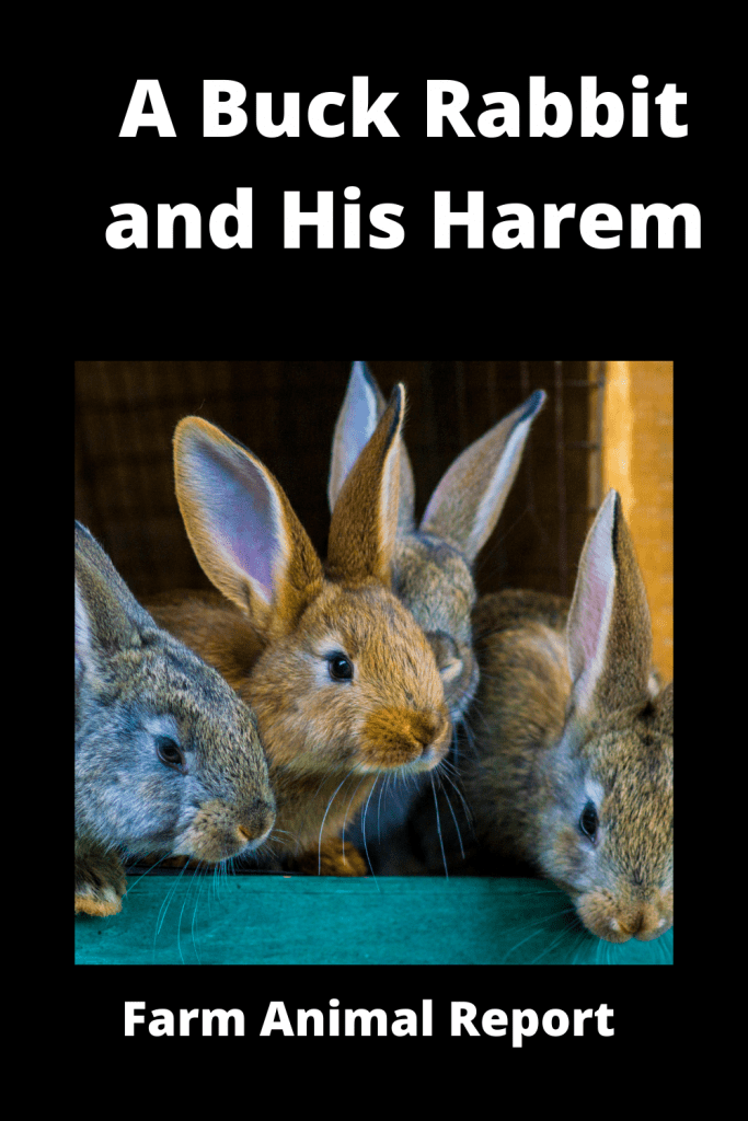 A Buck Rabbit and His Harem! Is it true that Rabbits Breed so Much? 3