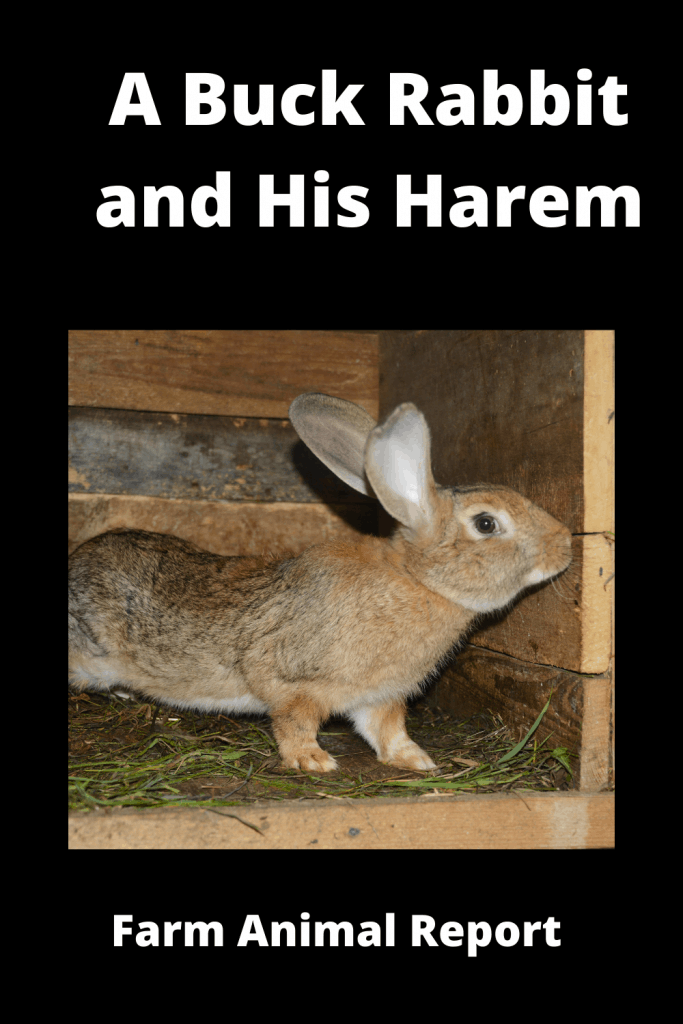 A Buck Rabbit and His Harem! Is it true that Rabbits Breed so Much? 4