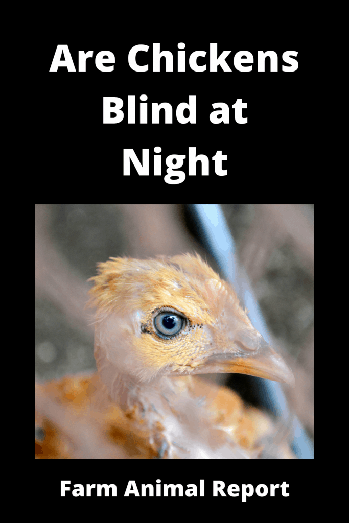 Are Chickens Blind at Night (With Videos) 2