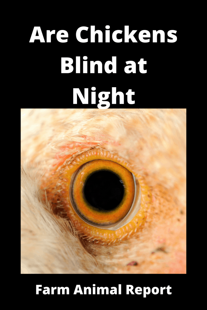 Are Chickens Blind at Night (With Videos) 3