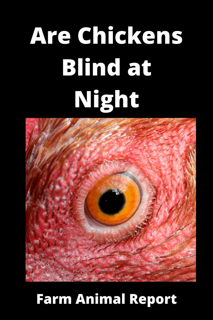 Are Chickens Blind at Night (With Videos) 1