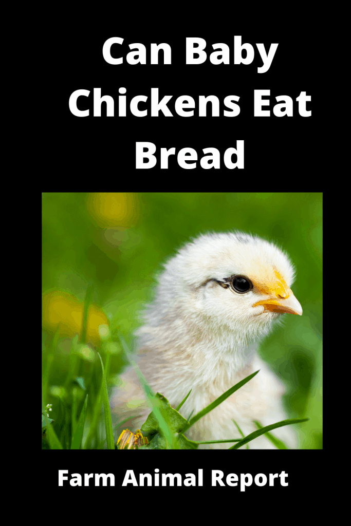 Can Baby Chickens Eat Bread? Ultimate Guide 1