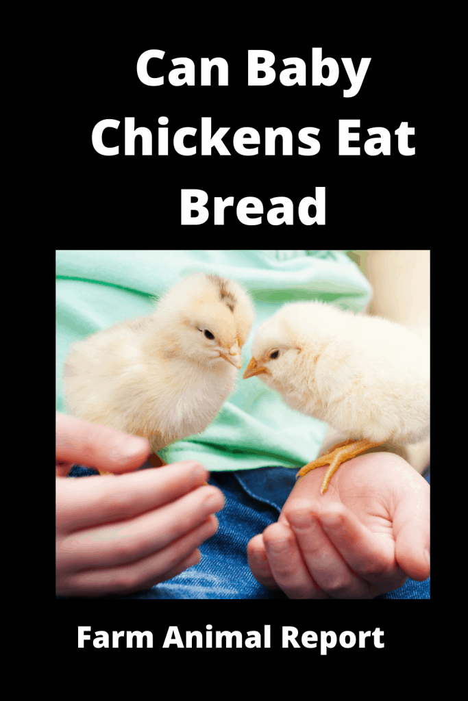 Can Baby Chickens Eat Bread? Ultimate Guide 2
