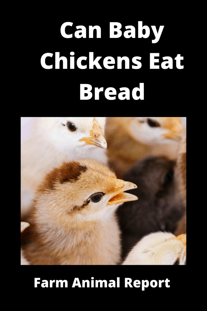 Can Baby Chickens Eat Bread? Ultimate Guide 3
