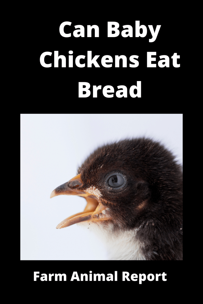 Can Baby Chickens Eat Bread? Ultimate Guide 4