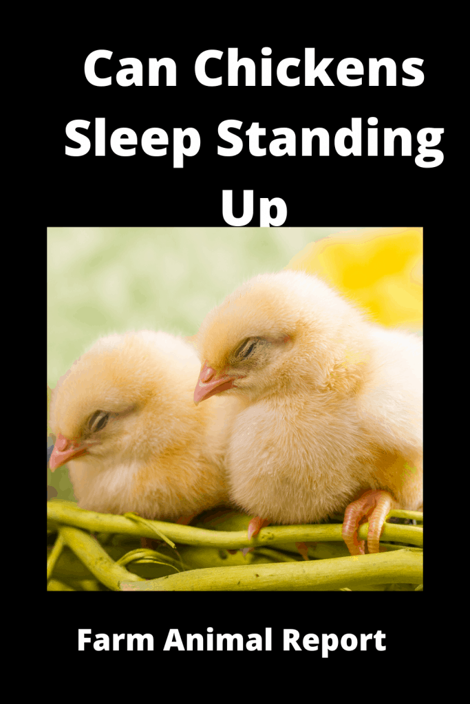 Can Chickens Sleep Standing Up? 1