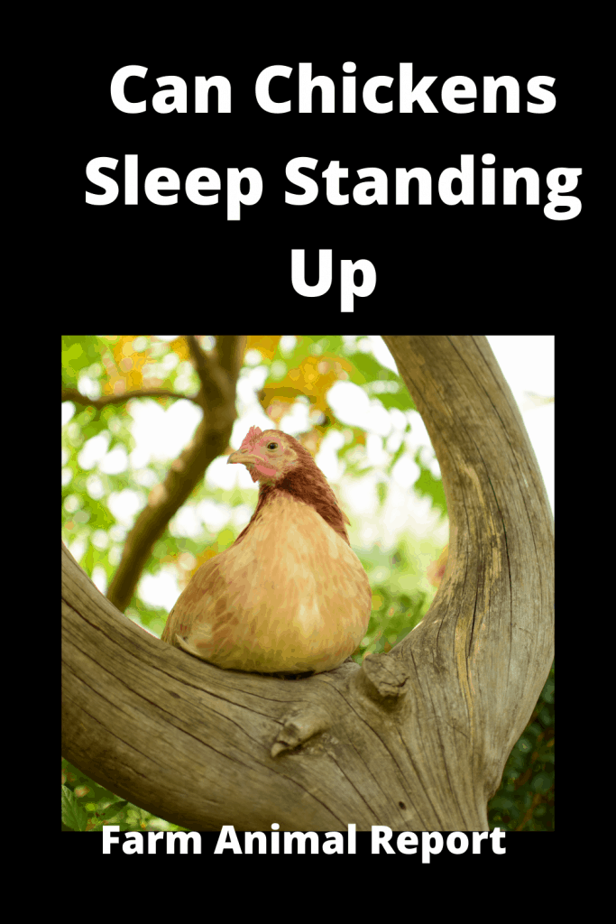 Can Chickens Sleep Standing Up? 2