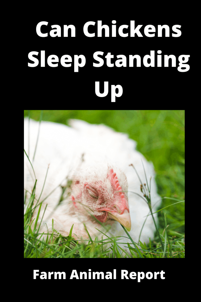 Can Chickens Sleep Standing Up? 3