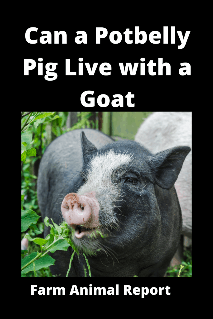 Can a Potbelly Pig Live with a Goat - Comparisons 2