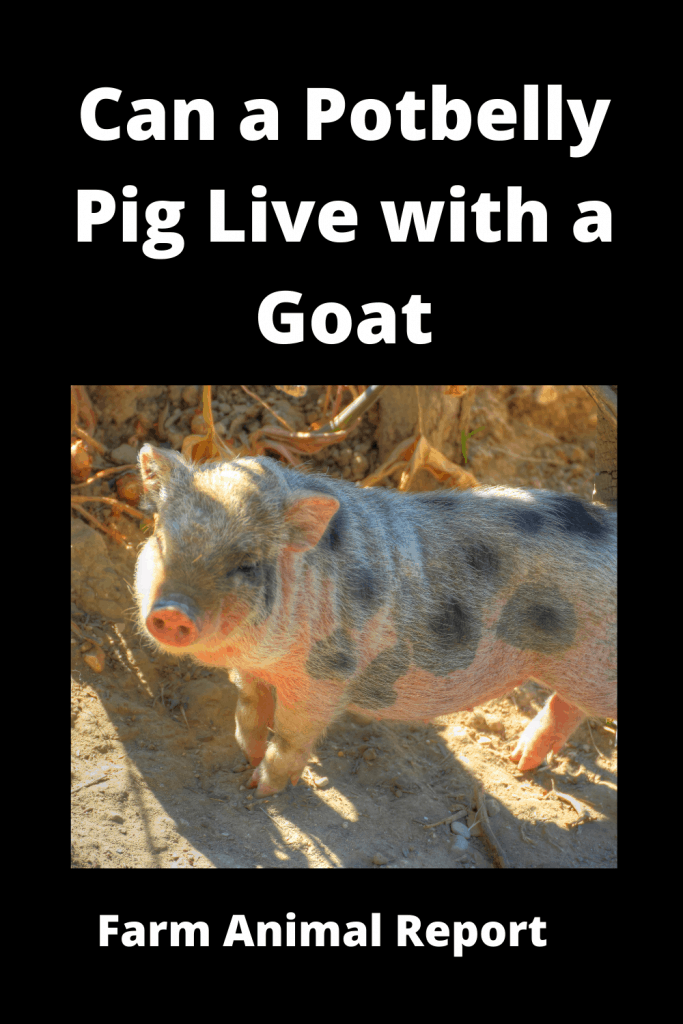 Can a Potbelly Pig Live with a Goat - Comparisons 3
