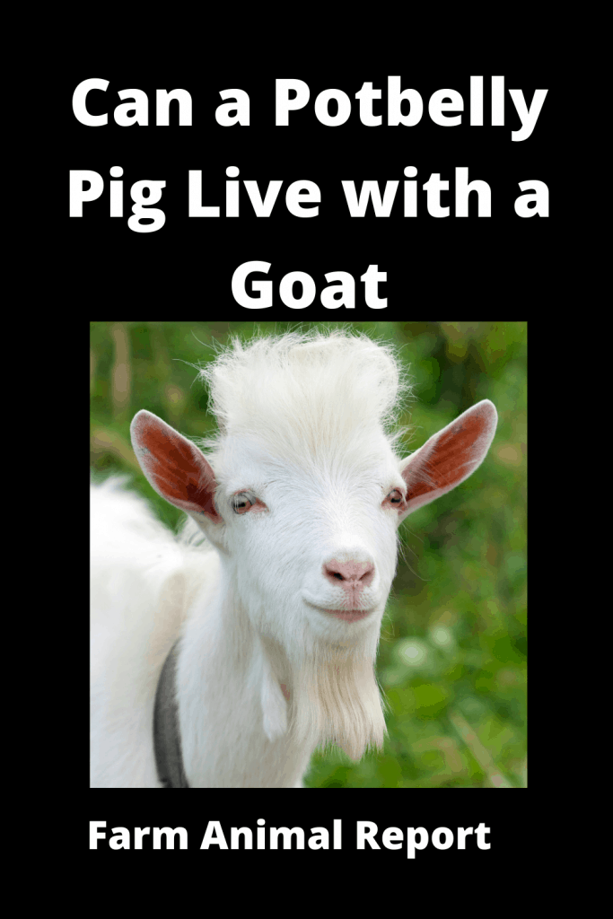 Can a Potbelly Pig Live with a Goat - Comparisons 4