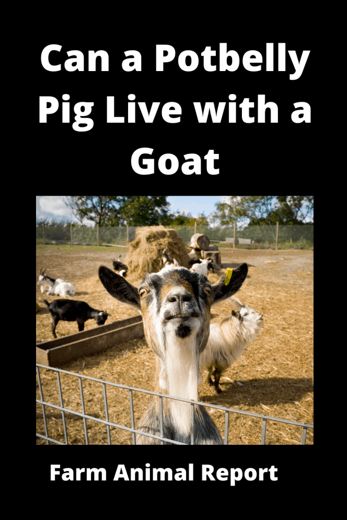 Can a Potbelly Pig Live with a Goat - Comparisons 5