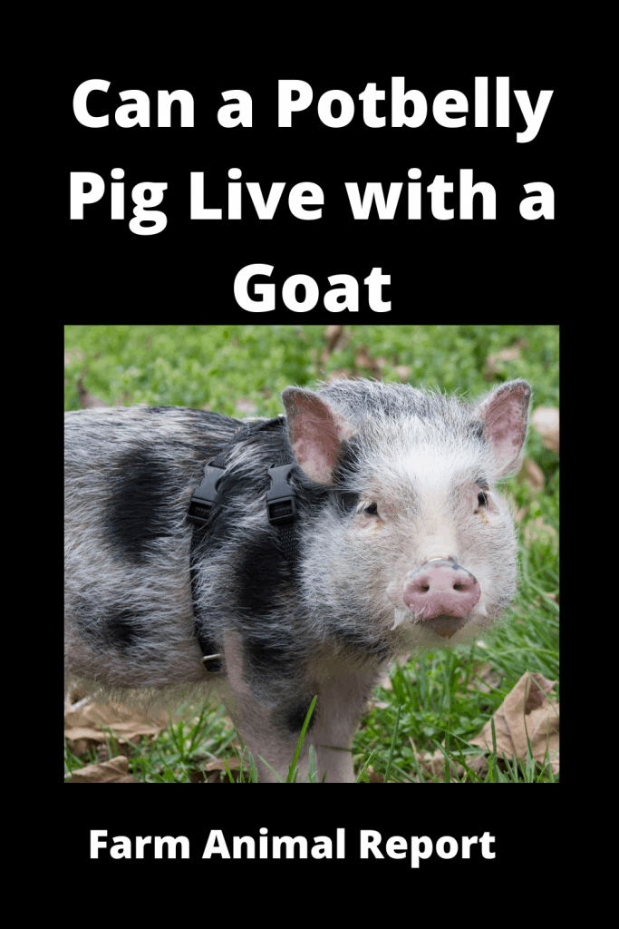 Can a Potbelly Pig Live with a Goat - Comparisons 1