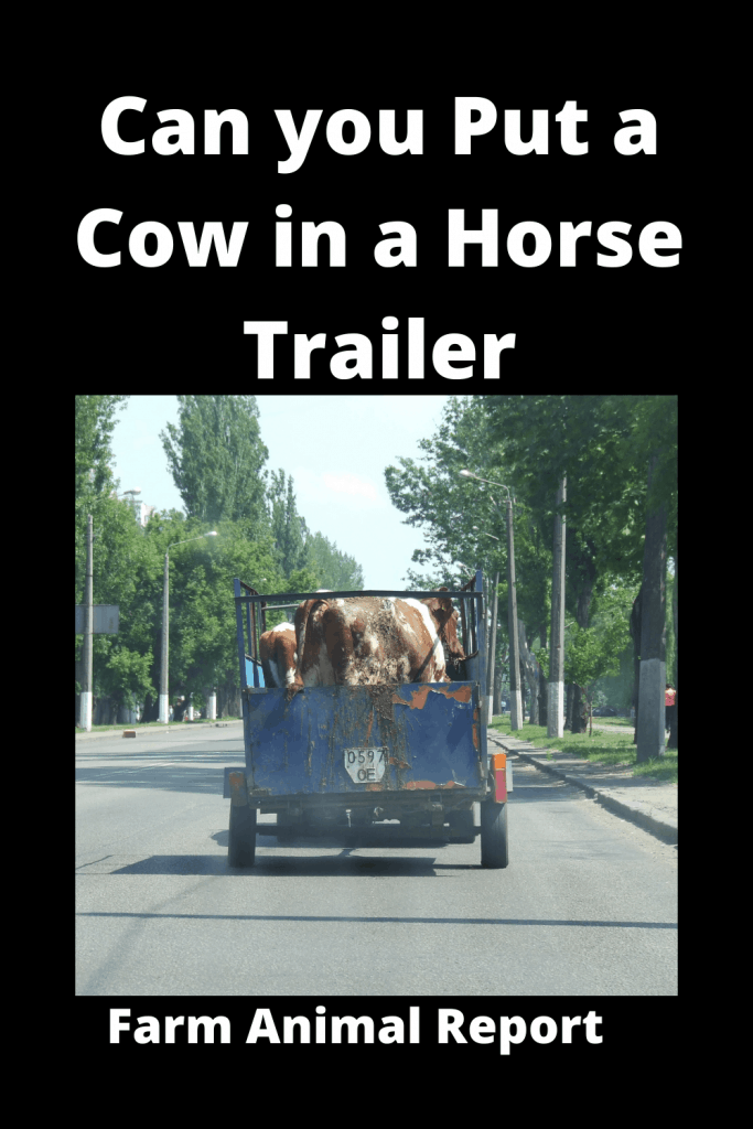 Can you Put a Cow in a Horse Trailer? 1