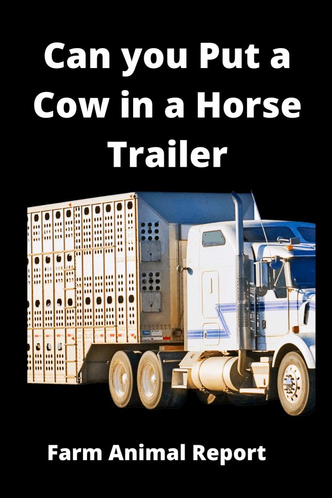 Can you Put a Cow in a Horse Trailer? 2