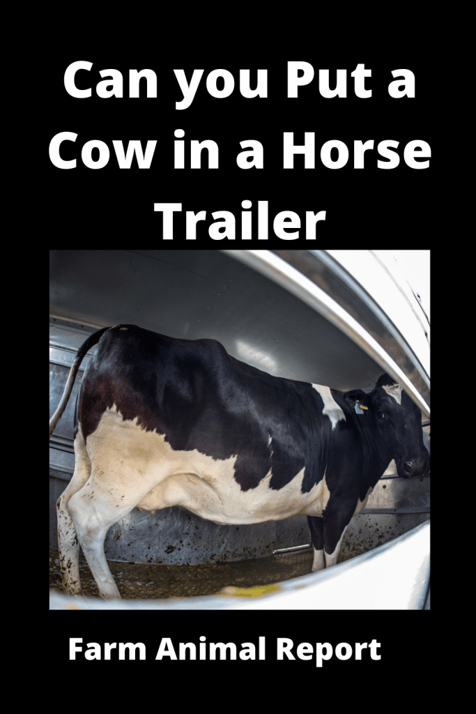 Can you Put a Cow in a Horse Trailer? 3