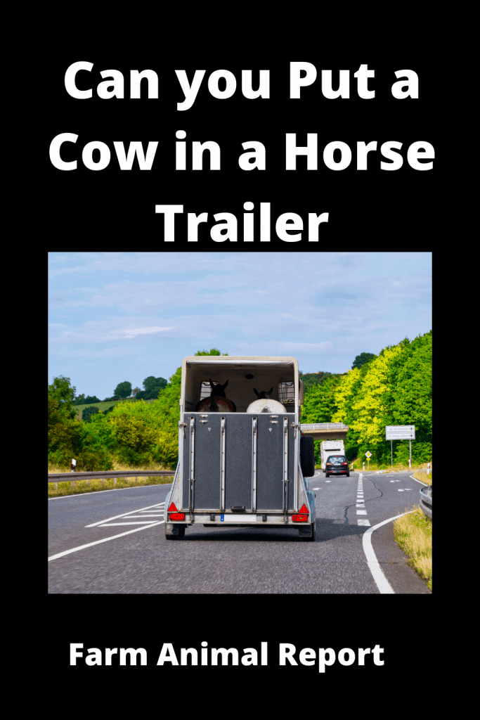 Can you Put a Cow in a Horse Trailer? 4