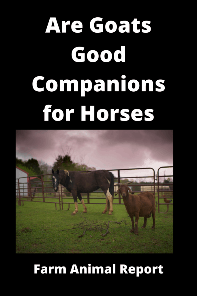 Are Goats Good Companions for Horses - 3 Examples 3