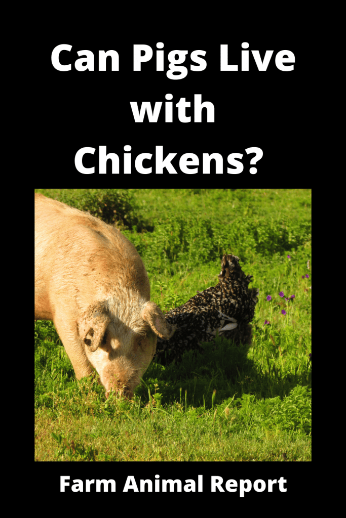 Can Pigs Live with Chickens? Pro's & Con's 3