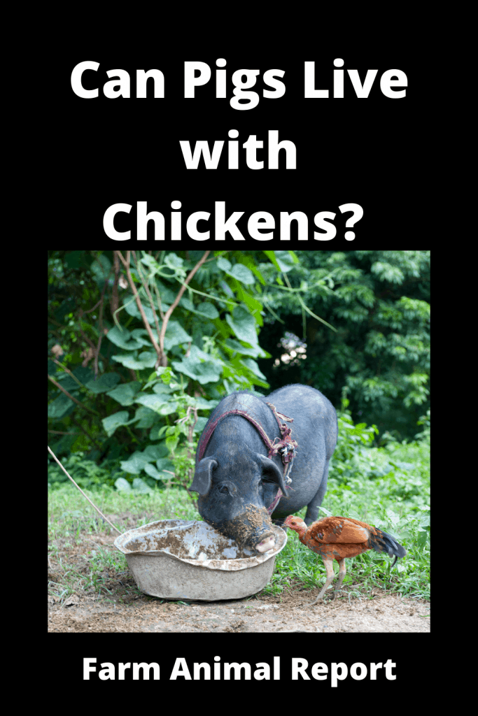 Can Pigs Live with Chickens? Pro's & Con's 4