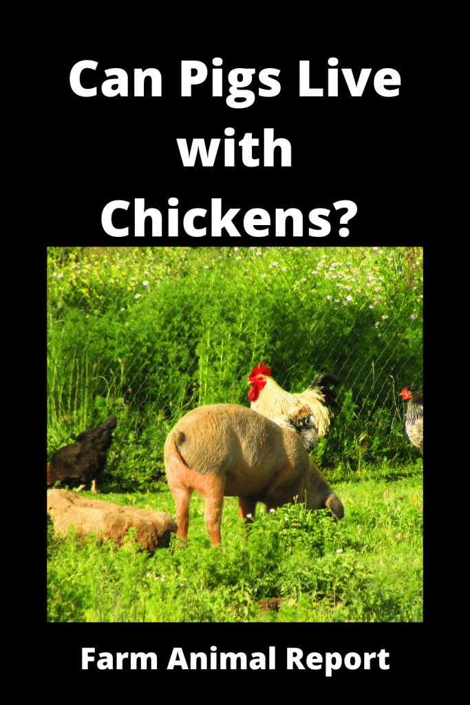 Can Pigs Live with Chickens? Pro's & Con's 1