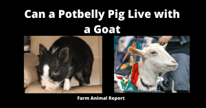 Can a Potbelly Pig Live with a Goat