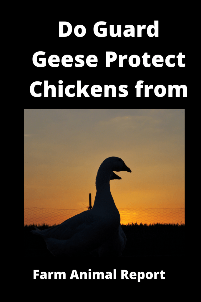 Do Guard Geese Protect Chickens from Hawks? 3