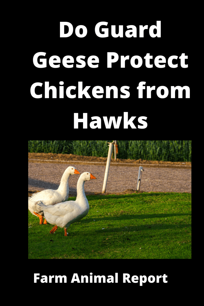Do Guard Geese Protect Chickens from Hawks? 4