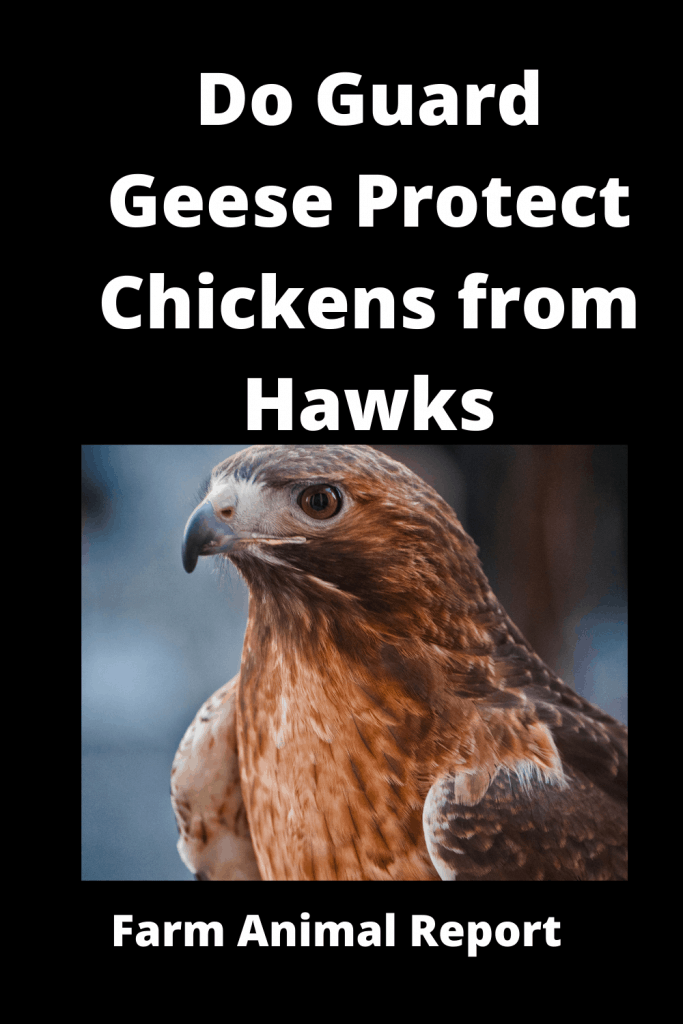 Do Guard Geese Protect Chickens from Hawks? 1