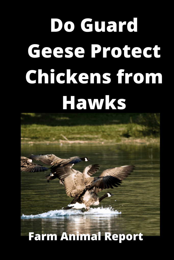 Do Guard Geese Protect Chickens from Hawks? 2