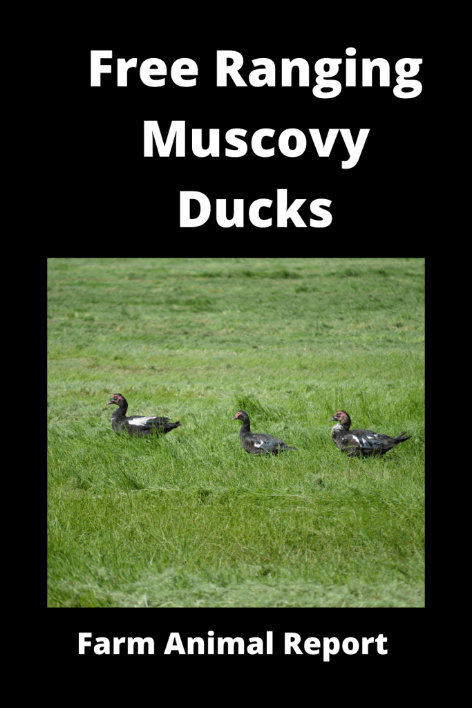 Free Ranging Muscovy Ducks Pro / Con (with Videos) 1