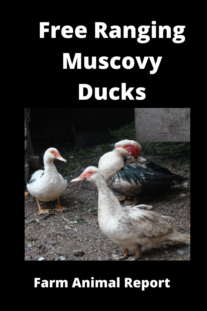 Free Ranging Muscovy Ducks Pro / Con (with Videos) 3