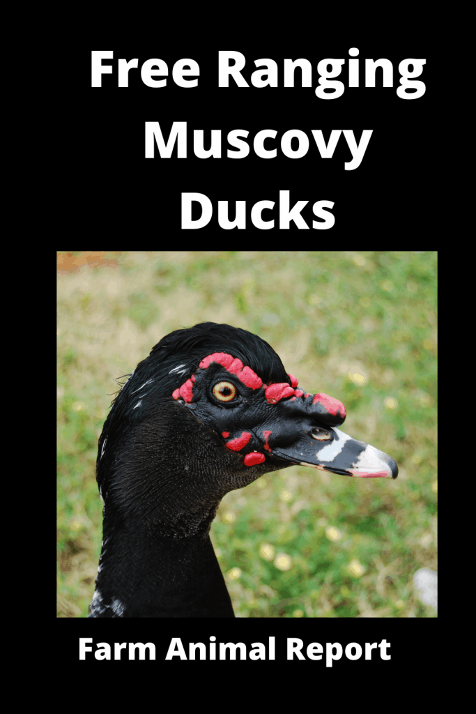 Free Ranging Muscovy Ducks Pro / Con (with Videos) 4