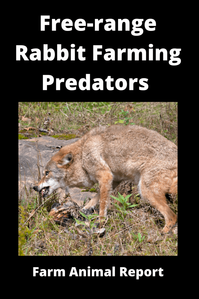 Free-range Rabbit Farming -  8 Types of Predators 4