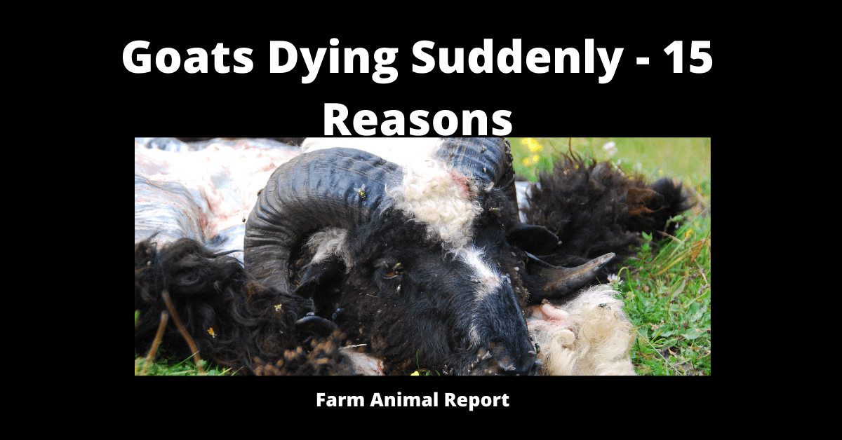 Goats Dying Suddenly - 15 Reasons