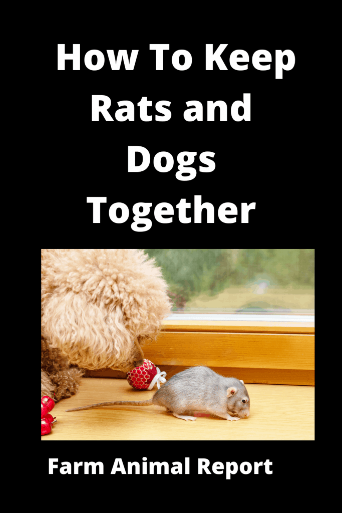 How To Keep Rats and Dogs Together: A Safety Guide 3