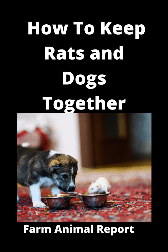 How To Keep Rats and Dogs Together: A Safety Guide 4