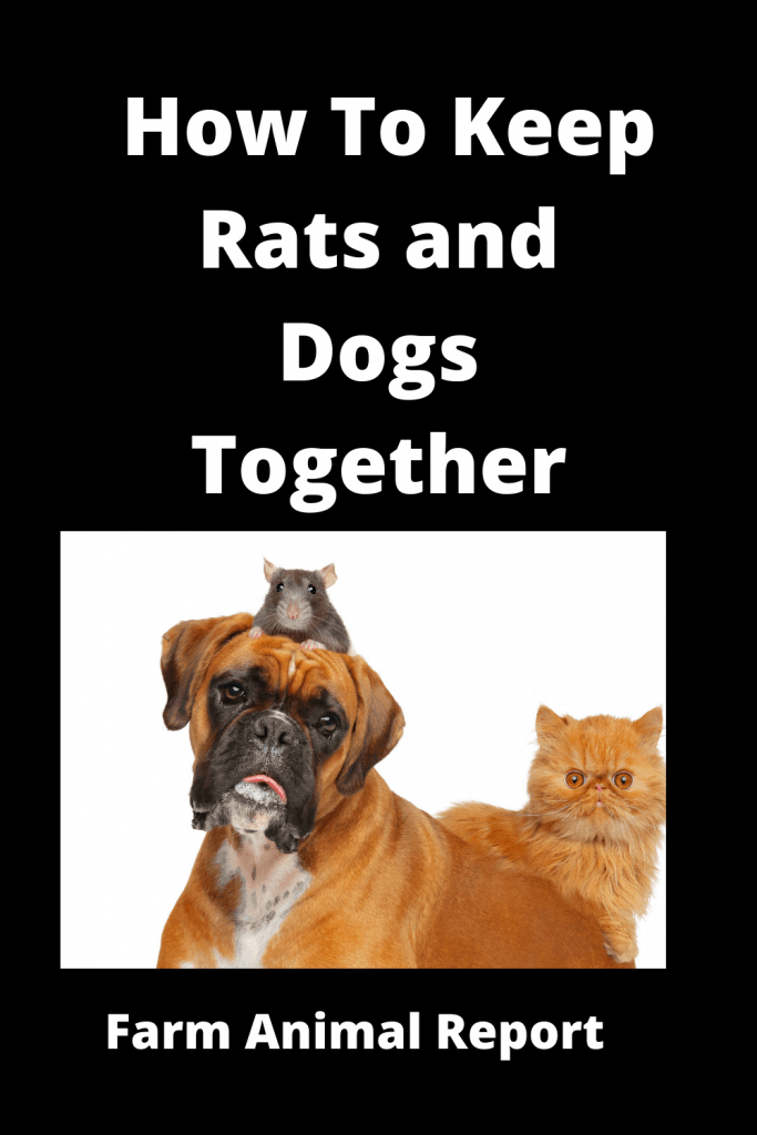 How To Keep Rats and Dogs Together: A Safety Guide 1
