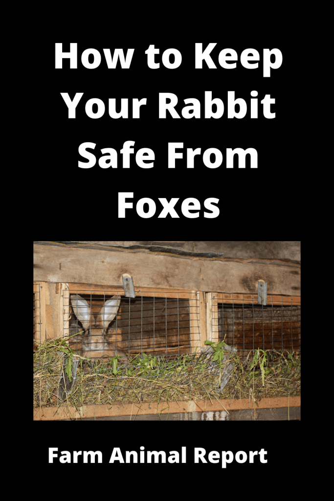 How to Keep Your Rabbit Safe From Foxes - 8 Solutions 2